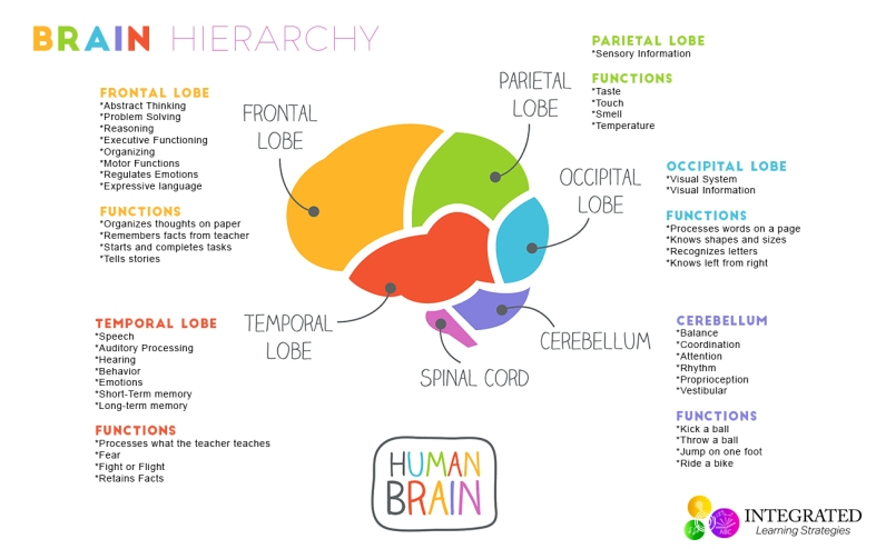 brain-hierarchy-learning-levels-1274x800